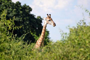 giraffe in the chobe national park (botswana)