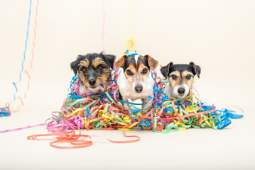 Three cute naughty party dog. Jack Russell dogs ready for carnival