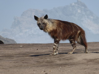 Old brown hyena walking on the beach, in southern Namibia.