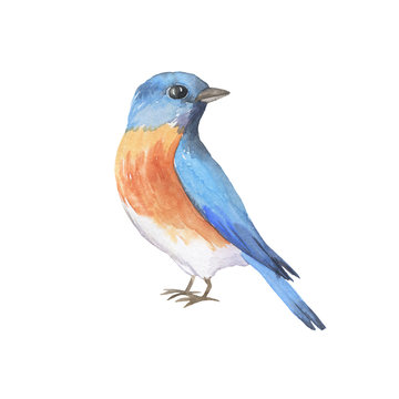 Eastern bluebird isolated on white background. Hand drawn watercolor illustration.