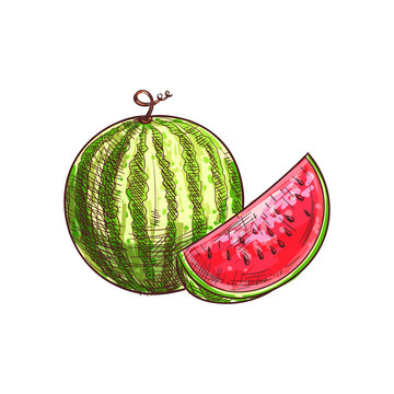 Watermelon sketch isolated berry fruit. Vector striped juicy melon, vegetarian food