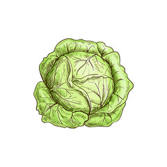 Green leafy cabbage head isolated vegetable. Vector headed cabbage, raw vegetarian food