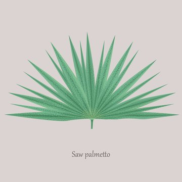 Saw Palmetto, Serenoa repens medicinal tree. Green leaves saw palmetto on a gray background and logo.