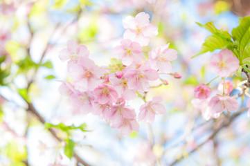 Deurstickers Kersenbloesem 満開の桜 河津桜 カワヅザクラ 桜2018_01s_00642(DSC_7944_NEF_コピー1)