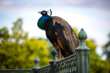 In de dag Pauw a beautiful peacock sitting on metal railing