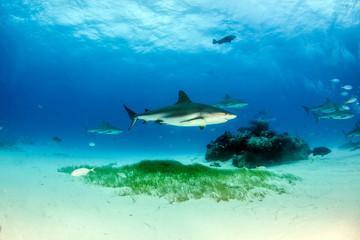 Caribbean reef shark at the Bahamas
