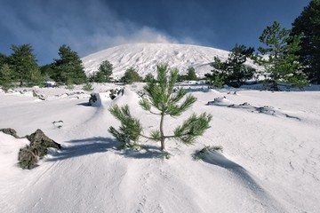 Wall Mural - Young Pine Into The Snow Of Etna Park, Sicily