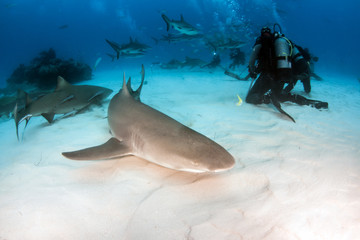 Lemon shark at the Bahamas