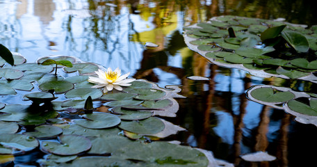 Foto auf AluDibond Wasserlilien White water lily on calm lake