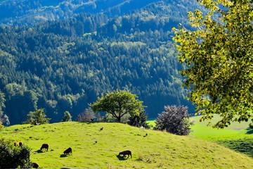 Papiers peints Bleu nuit des moutons et poules à côté d'arbres, les alpes en arrière plan Gruyères dans le canton de Fribourg.