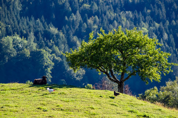 Papiers peints Bleu nuit un mouton et des poules à côté d'un arbre les montagnes en arrière plan Gruyères dans le canton de Fribourg.