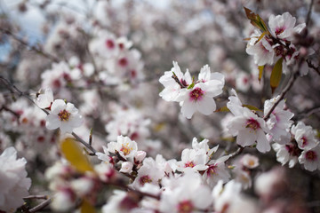 Flowering almond branches in the garden, background, blur.