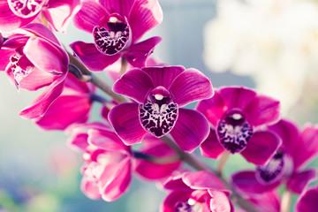 Fototapeta Phalaenopsis orchid macro