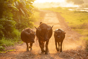 Fotobehang Buffel Thai black buffalo walking on the road at countryside in evening time