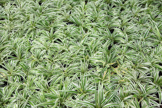 Close up of the fresh leaves of the chlorophytum