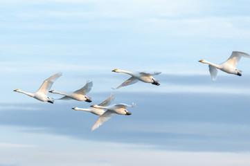 Keuken foto achterwand Zwaan 空を飛ぶハクチョウの群れ
