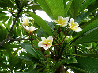 Papiers peints Frangipanni White plumeria flowers blooming in the tree