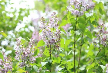 Foto op Aluminium Lilac Lilac at Spring day