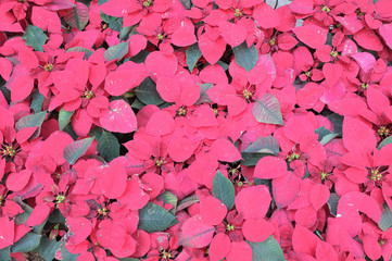 Background Pattern of Poinsettia or Christmas star Leaves