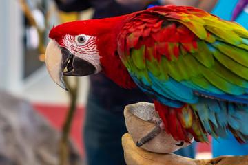 Fond de hotte en verre imprimé Perroquets Portrait of a beautiful colorful Ara Scarlet Macaw parrot close up.
