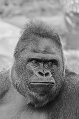 Black and white picture of an adult male of Western Lowland Gorilla, (gorilla gorilla gorilla) face portrait
