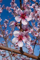 Almond flowers (prunus dulcis), blooming with sunlight and blue sky background