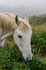 White horse behind a stone wall, grazing grass, head portrait,  with fog background