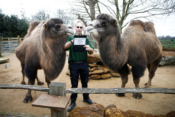 A zookeeper interacts with camels during the annual stocktake at ZSL London Zoo in London