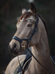 portrait of beautiful stunning show jumping gelding horse with bridle and browband with beads in forest in autumn
