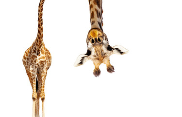 Foto auf Gartenposter Giraffe Giraffe with long head look upside down on white