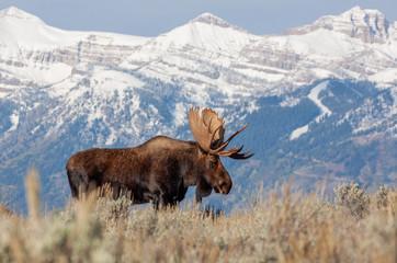 Bull Shiras Moose in Wyoming