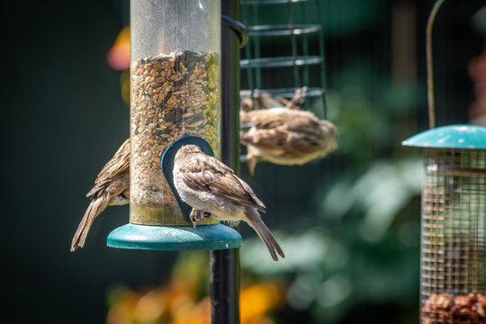 House sparrows eating at bird feeder in backyard garden