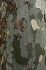 plane tree bark texture