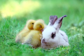 Fototapeta 草地でアヒルの雛達と一緒の子ウサギ。自然,小動物,仲良し,癒し,リラックス,イメージ obraz