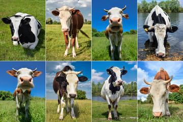 Collage of cows and cattles on the field
