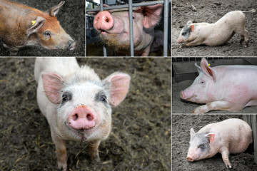 Funny pigs with big snout.