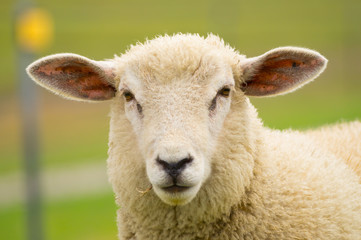 Dike sheep close up portrait