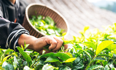 The hands of the farmers who are harvesting up the leaves from the tea tree in the morning which are the good time to harvest the tea leaves, to people and agriculture concept.