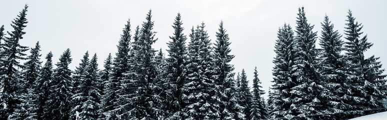 scenic view of pine forest with tall trees covered with snow on hill, panoramic shot Fotoväggar