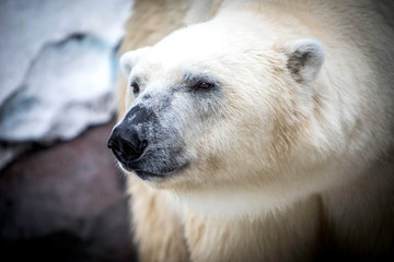 Deurstickers Ijsbeer polar bear in the zoo