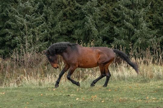Bay latvian warmblood breed horse runs in the field