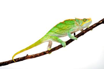 Fototapeten Chamaleon Parson's chameleon / Parsons Chamäleon (Calumma parsonii parsonii) -