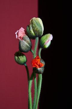 Close up of poppy buds