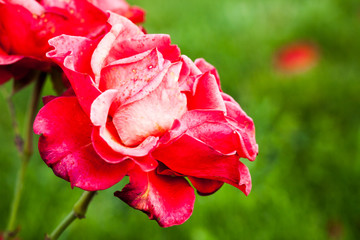 Wall Mural - Two red roses, macro photo of garden flowers