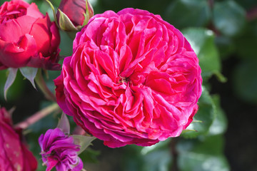 Wall Mural - Pink rose, macro photo of selective garden flower
