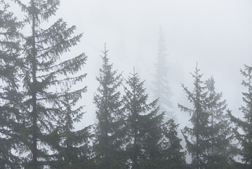 Papiers peints Forets Fir forest in the fog