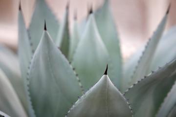 Agaven Blätter grün, blau, pastell Farbe als abstraktes Close up