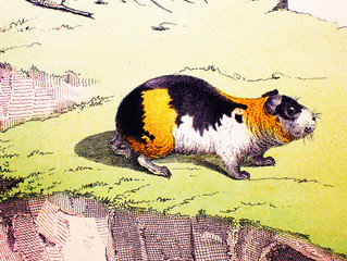 Guinea pig in a vintage book History of animals, by Shubert/Korn, 1880, St. Petersburg