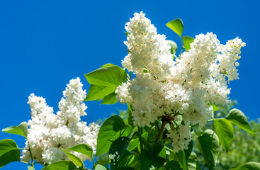 Foto auf Leinwand Flieder Spring, blooming white lilac against a bright blue sky
