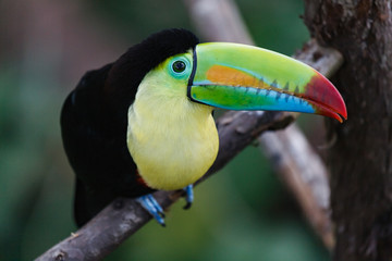 Poster Toekan Keel-billed Toucan in a Costa Rica Tropical Rainforest. Also Known as the Rainbow Toucan